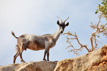 goat on the rock