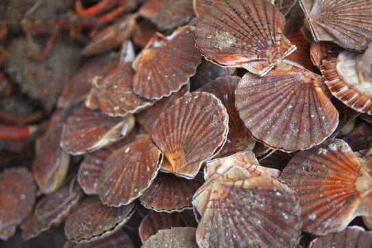 Coquilles Saint-Jacques, fruits de mer, crustacés, pêche
