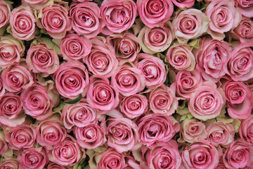 big group of pink roses