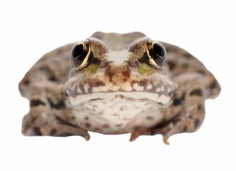 Marsh Frog isolated on white background