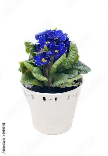 Синие цветы в горшках купить где можно купить мимозы цветы
