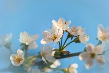 Flowers of fruit tree