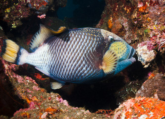 Poster Coral reefs Titan Triggerfish