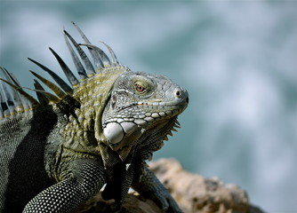 Iguana on Bonaire