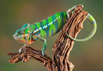 Panther Chameleon Wall mural