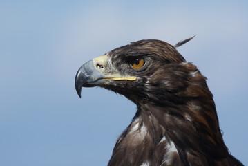 Golden eagle in profile