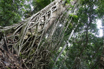 Strangler fig tree, Australia