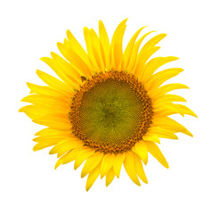 sun flower on white background