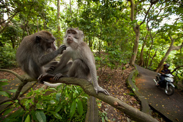 Two wild monkey in forest on Bali island