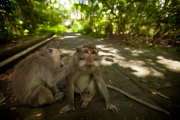 Two wild monkey in forest on Bali island