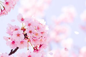 Fotobehang Kersenbloesem 満開の桜