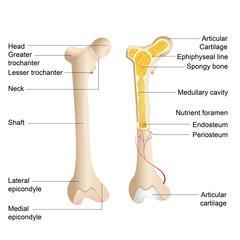 Bone Anatomy