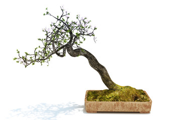 Bonsai tree isolated on a white background