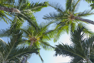 Crowns of Manila Palms