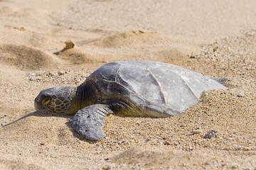 Half Buried Green Sea Turtle in Hawaii