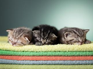 Papier Peint - Three sleeping scottish baby kitten on stack of colorful towels