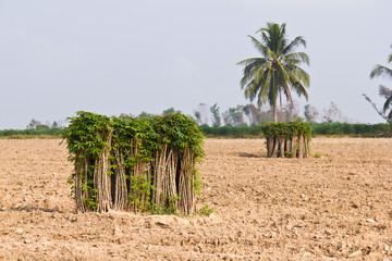 Fototapete - Bunches of breeding sapling of cassava