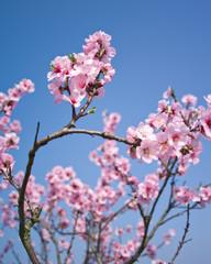 Wall Mural - rosa Blüten