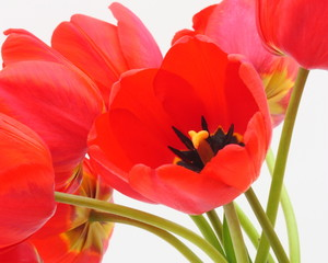 Flowers Stock Picture. Tulips Pictures Photos Images Wallpaper