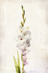 Watercolor white gladiolus