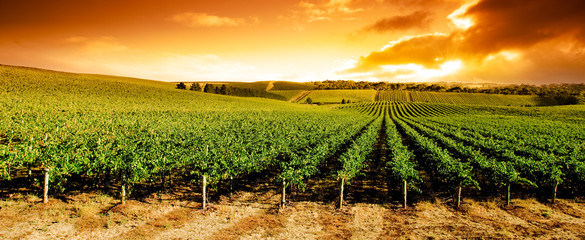 Wall Murals Vineyard Sunset Vineyard Panorama