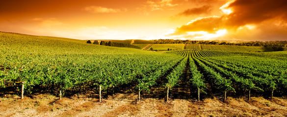 Poster Wijngaard Sunset Vineyard Panorama