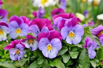 Poster Pansies Pansies blooming