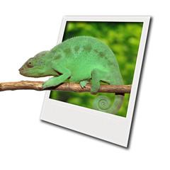 Caméléon sortant d'un polaroid