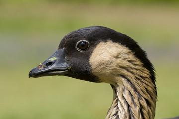 Nene Goose Head