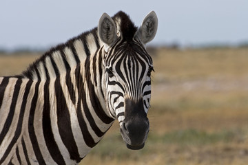 Portrait of Burchells zebra; Equus Burchelli .