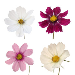 collection of four cosmos daisies isolated on white background