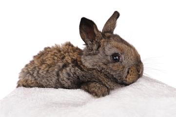 grey baby rabbit