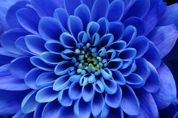 Poster de jardin Macro Close up of blue flower : aster with blue petals