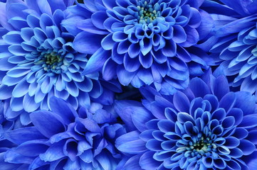 Self adhesive Wall Murals Macro Close up of blue flower : aster with blue petals