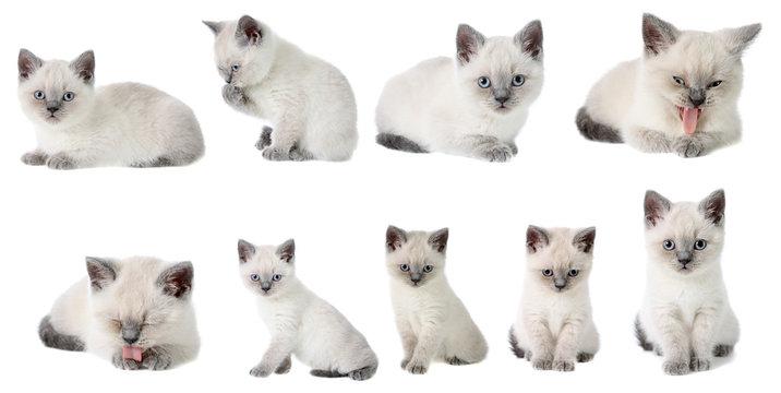 set the British kittens, isolated.