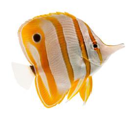 marine fish beak copperband butterflyfish isolated on white