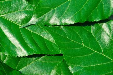 Leaf Mulberry