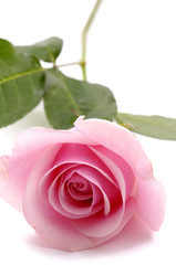 beautiful pink roses isolated