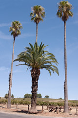 Palms behind date palm