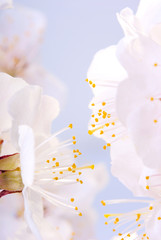Plum-tree flowers.