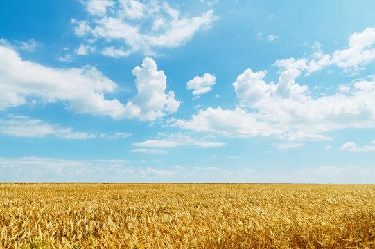 field of wheat under cloudy sky