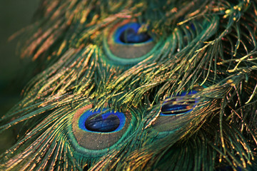Peacock Feather,Close Up