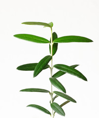 Little olive tree