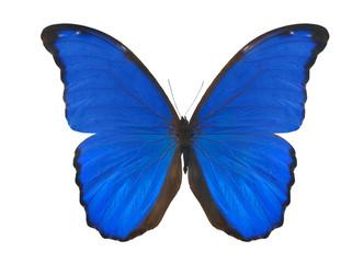 blue isolated on white morpho