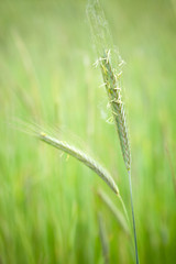 One thread green wheat in focus
