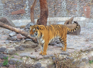 Tiger in Kyiv Zoo, Ukraine