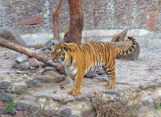 Tiger in Kyiv Zoo, Ukraine