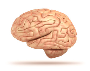 Human brain 3D model, isolated
