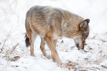 hungry wolf eating meat