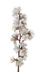 The branch of apricot with blossoming flowers